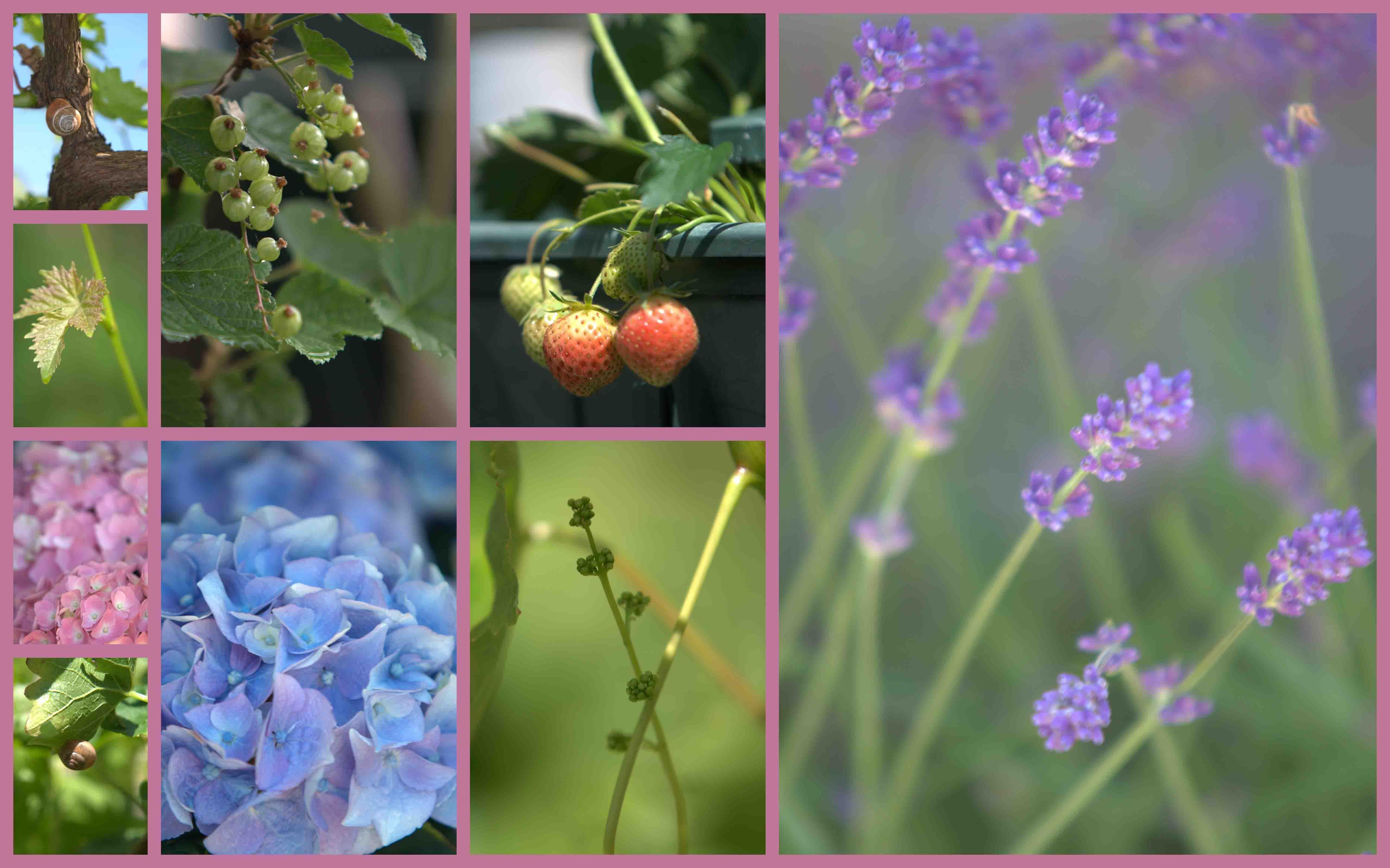 De eerste aardbeien uit eigen tuin